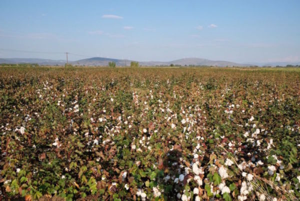 I left the rain and Thessaloniki behind to cycle along the coast to Turkey. Apparently it is cotton wool season so the landscape and local activities were dominated by the harvest