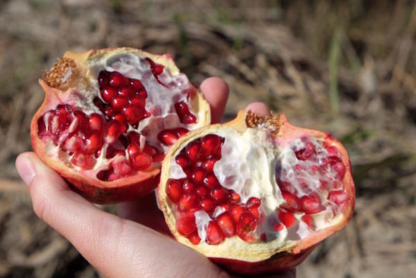 The other seasonal joy that filled the fields were the pomegranates, delicious but time consuming to eat!