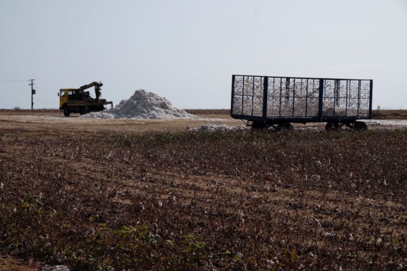 Harvesting the cotton wool from the endless cotton fields in northeast Greece